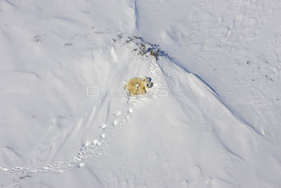 Polar Bear {Ursus maritimus} aerial view of mother and 3/4-months cubs as the family rests in daybed during their journey fro...