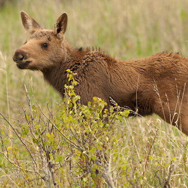 Moose wildlife photos