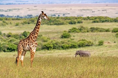 Masai Giraffe and Elephant in Kenya Africa