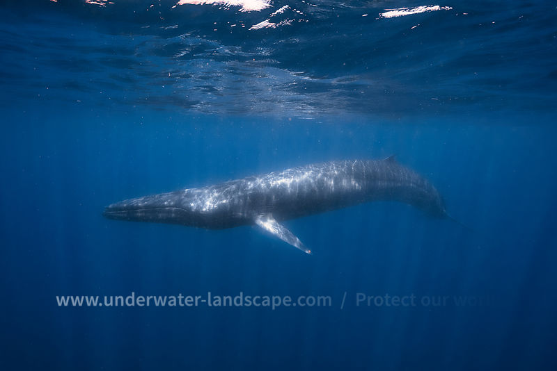 Omura's whale - underwater photo