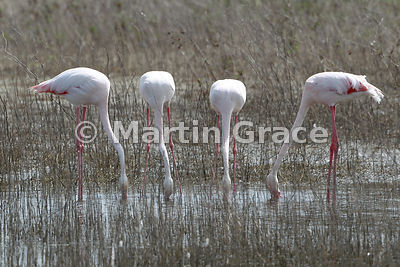 Greater Flamingo (Phoenicopterus ruber) feeding in the endorheic Fuente de Piedra lagoon, Andalucia, Spain