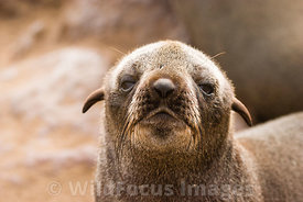 Young Cape Fur seal, Arctocephalus pusillus pusillus, Cape Cross Seal Colony, Skeleton Coast, Namibia; Landscape