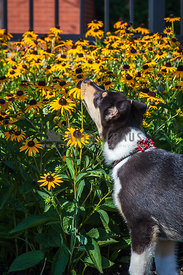 dog sniffing sunflowers