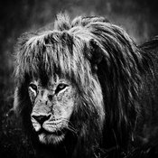 00100-Lion_walking_through_the_grass_Tanzania_2018_Laurent_Baheux