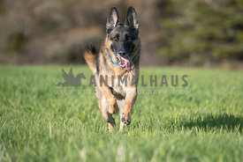 German Shepherd running in a field