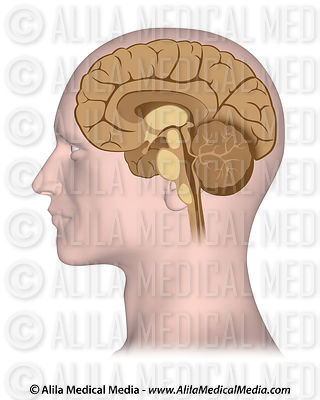 Median section of brain
