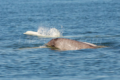 New born Beluga in Saint Lawrence_Canada