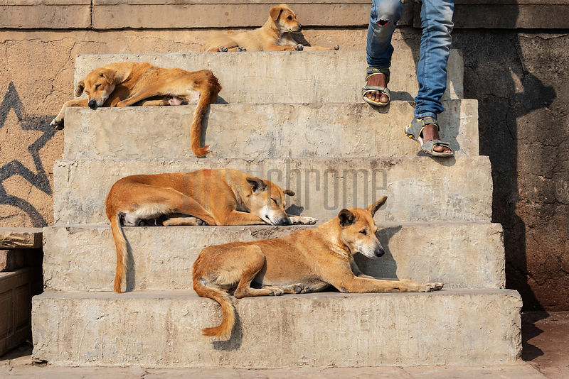 Dogs Resting on the Steps of a Bathing Ghat