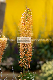 Eremurus spp. (Lis queue-de-renard), vivace. Paysagiste : Mike Harvey. HCFS, Angleterre