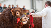 Showing Limousin bulls at a pedigree sale held at Borderway Auction Mart, Carlisle, Cumbria, UK.