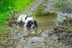 Wet Black and White Working English Springer Spaniel lieing in puddle