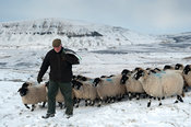 Shepherd leading a flock of sheep across snowy moorland. North Yorkshire, UK