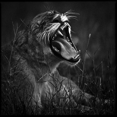 7687-Lion_crying_in_the_bush_Laurent_Baheux