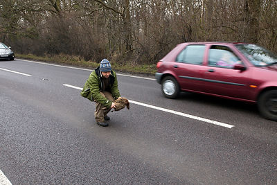 "UK - Kent - Fergus Drennan known as 'Fergus the Forgager"" collects a pheasant on the road, killed by a car at Bishopstone nea..."