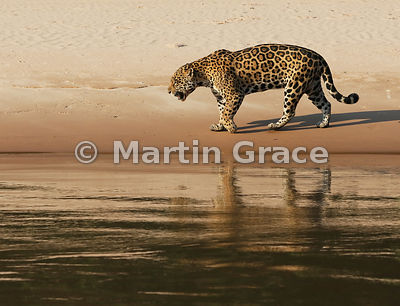 Female Jaguar 'Hunter' walks along the edge of Three Brothers River, Northern Pantanal, Mato Grosso, Brazil. Image 26B of 62;...