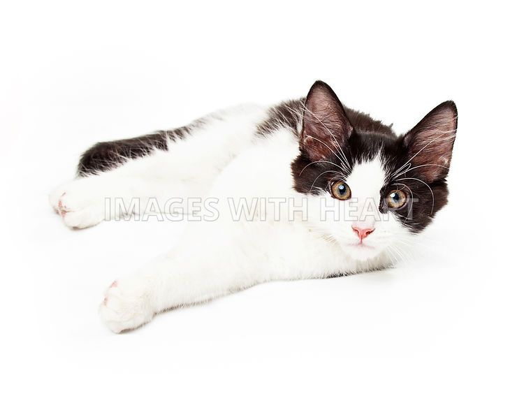 Black and White Kitten Laying on Side Looking Into Camera