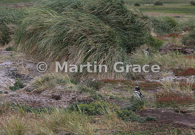 Two Magellanic Penguins (Spheniscus magellanicus) near their burrows above the beach at Dyke Bay, Carcass Island, Falkland Is...