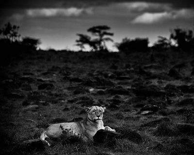 6766-Lioness_in_the_plain_Laurent_Baheux