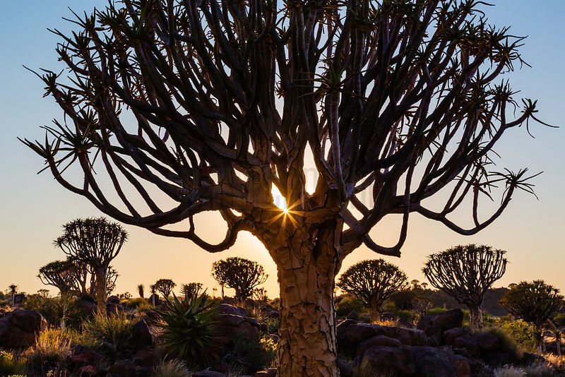 Silhouette of Quiver trees in desert at sunrise