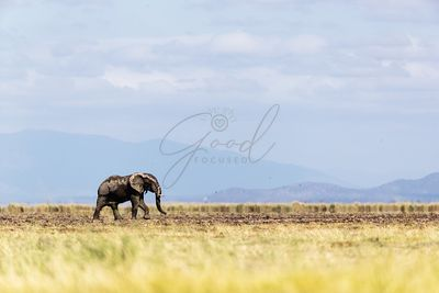 Young Elephant Walking Alone in Amboseli Kenya