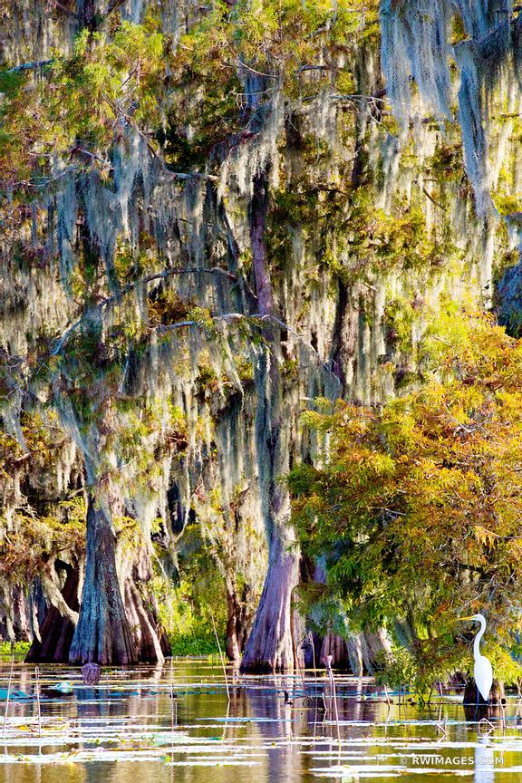 BALD CYPRESS TREES WHITE EGRET LAKE MARTIN LOUISIANA SWAMP