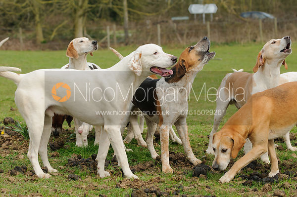 The SC and RMAS Drag Hunt hounds