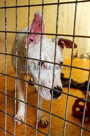 White bull terrier mix at animal shelter behind bars looking sad