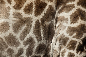 Close-up of skin of giraffe belly with ticks