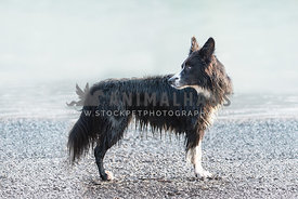full body side view profile of Border Collie looking over his back