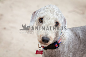 small dog beach headshot with eye contact