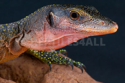 Peach-throated monitor / Varanus jobiensis