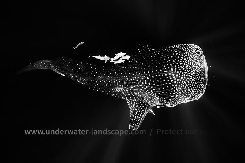 Black and Whale Shark