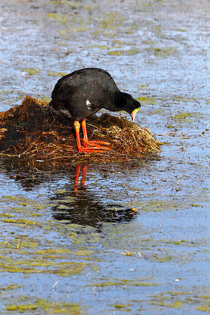 Adult Giant coot (Fulica gigantea ) standing next to nest