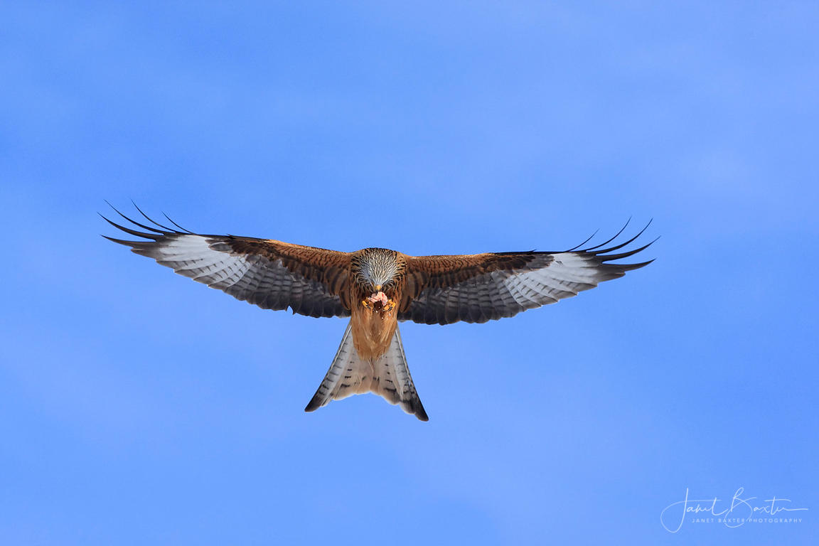 Red kite feeding on the wing