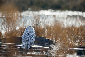 Snowy Owl Perched on Driftwood at Boundary Bay