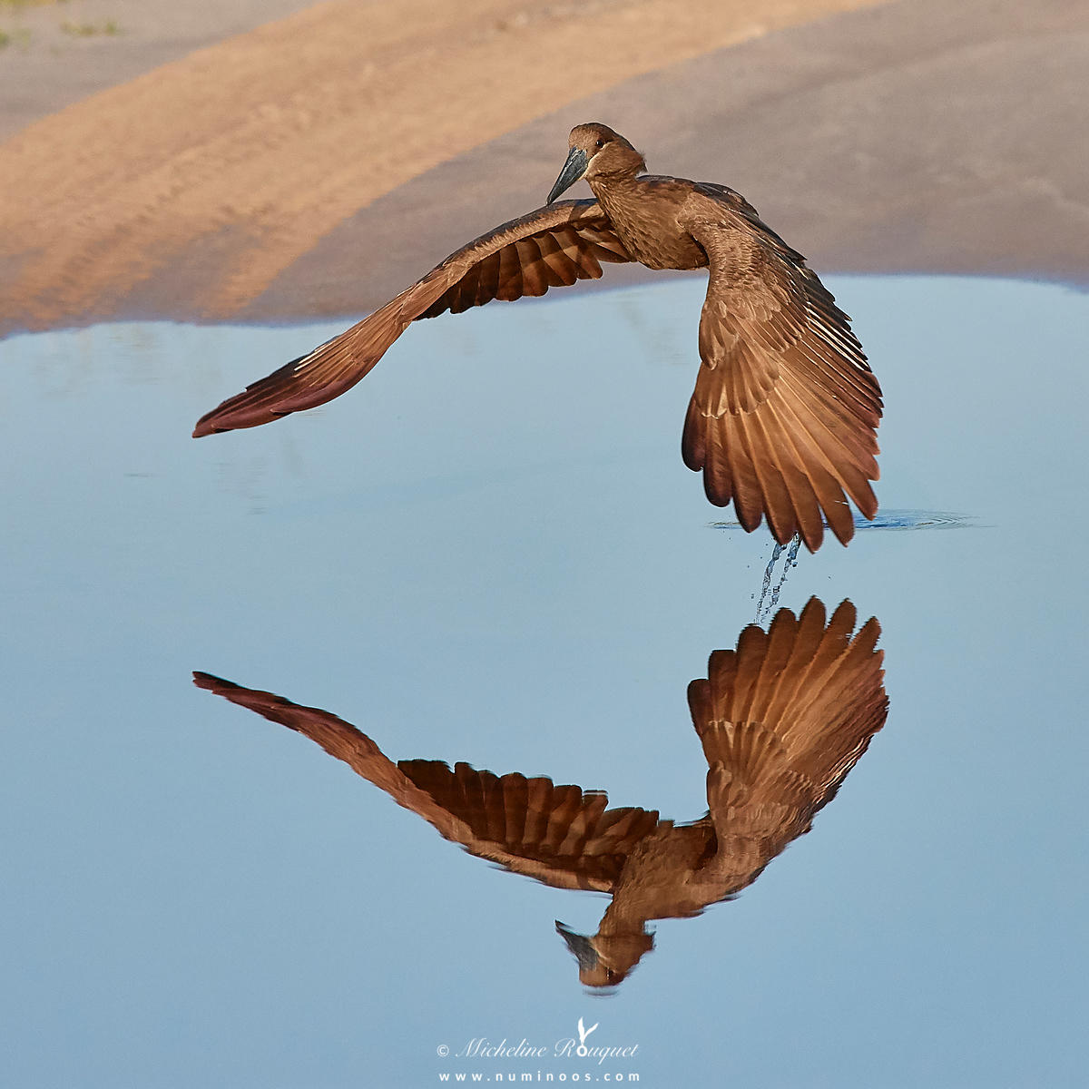 Hamerkop takeoff downstroke in mirrored reflection