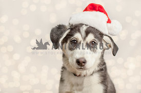 husky puppy with santa hat