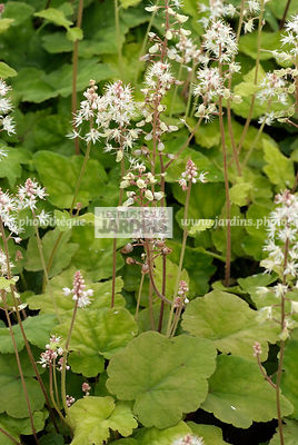 Tiarella 'Wherryi', Collection Pépinières Lepage
