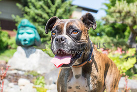 smiling boxer dog with sculpture