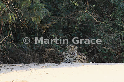 Female Jaguar (Panthera onca) known as Hunter at the top of the beach, Three Brothers River, Northern Pantanal, Mato Grosso, ...