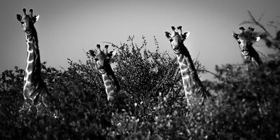 0527-Giraffes_in_the_leaves_South_Africa_2008_Laurent_Baheux