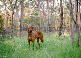 Hungarian Vizsla in Australian bush with head tilt