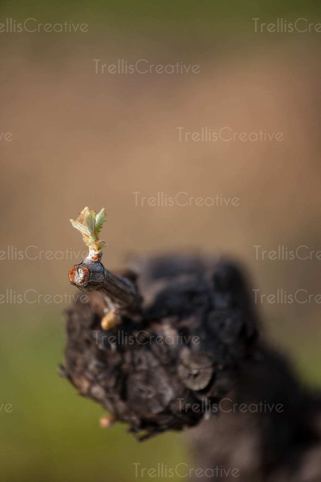 A young bud breaks on a knarled grapevine in a vineyard