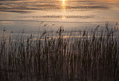 Reeds and early sunlight