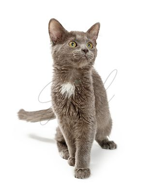 Young Grey Kitten Walking Forward on White