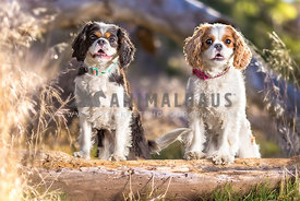 two cavalier king charles spaniels on a log