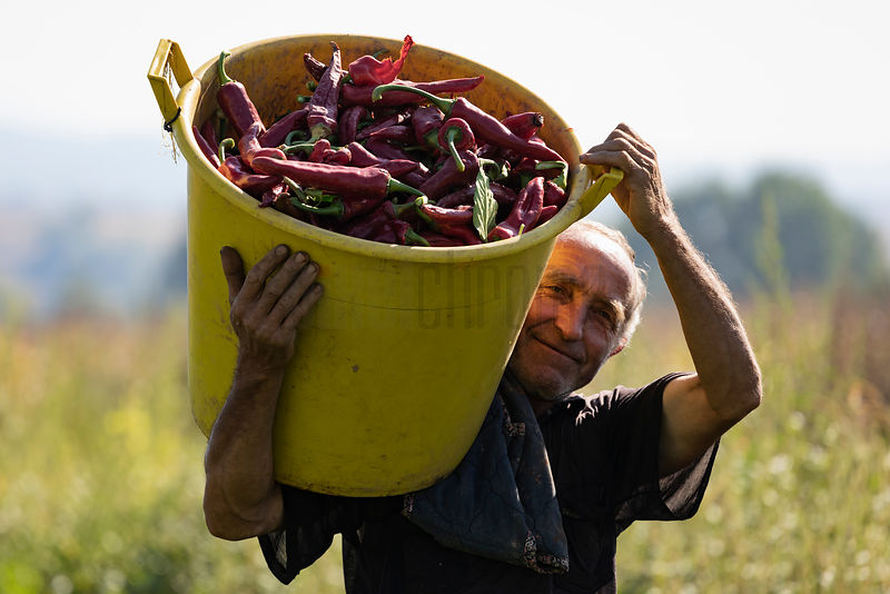 Slobodan Nedelikovic Carries a Tub Full of Freshly-Picked Peppers