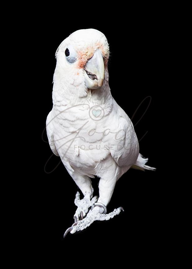 Goffin's Cockatoo on Black Background