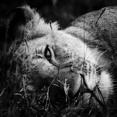 1364-Dreamy_lioness_South_Africa_2008_Laurent_Baheux