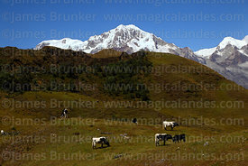 Cattle grazing in high altitude meadow, Mts Illampu (L) and Ancohuma (R) in background, Cordillera Real, Bolivia
